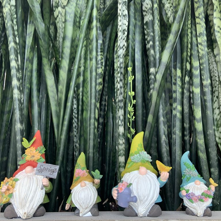 Four Garden gnomes standing in front of a large snake plant