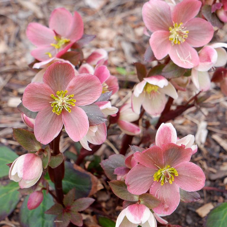Pink Hellebore Blooms